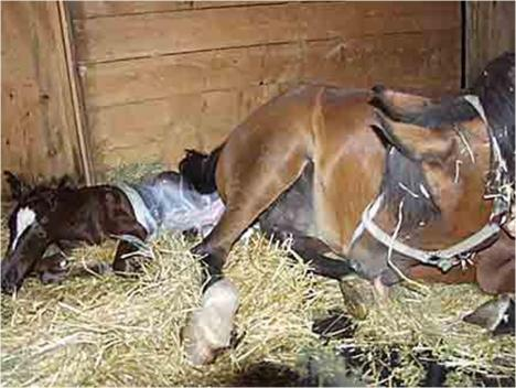 how to help a horse give birth
