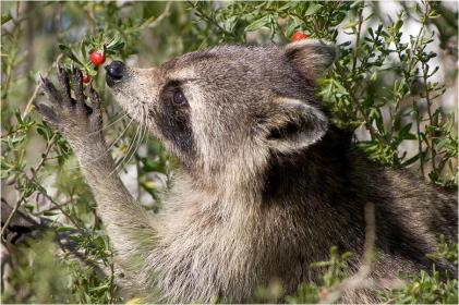 Procyon lotor the valiens for Do raccoons eat fish